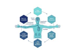 De bloeddruk cyclus